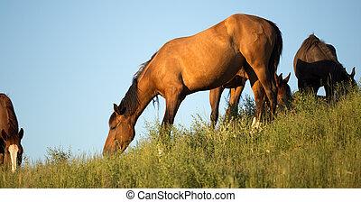 cavalos, em, a, pasto, em, pôr do sol