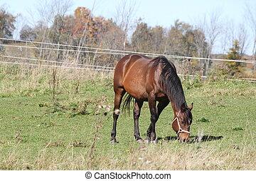 cavalos, em, campo, pastar