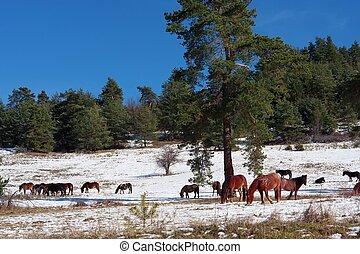 cavalos, em, nevado, rolando, prado
