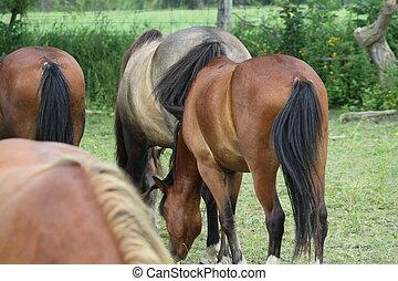 cavalos, em, pasto