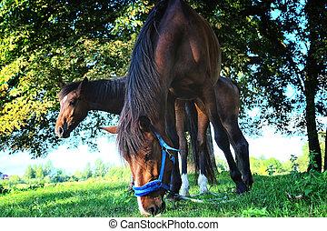 cavalos, grama campo, comer, verde