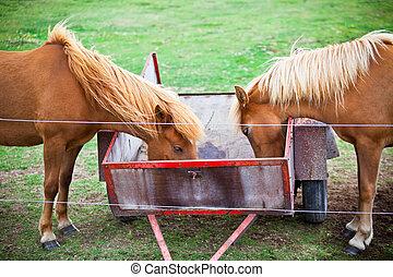 cavalos, marrom, comer, dois, campo, grama verde