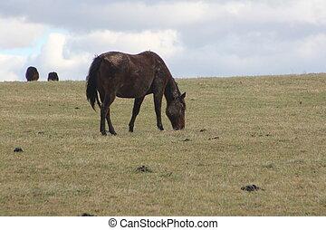 cavalos, montanhoso, prado, pastar