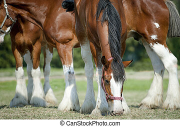 cavalos pastam, clydesdales