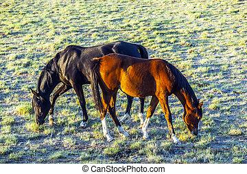 cavalos pastam, prado