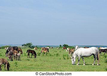 cavalos, pasto, burros
