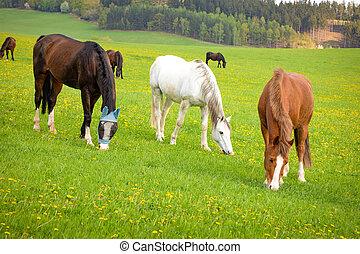 cavalos, primavera, capim, comer, campo
