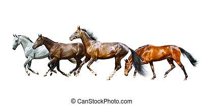 cavalos, purebred, isolado