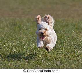Cavapoo puppy running.