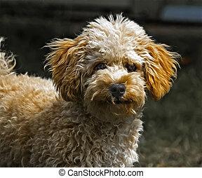 Cavapoo puppy stylized portrait