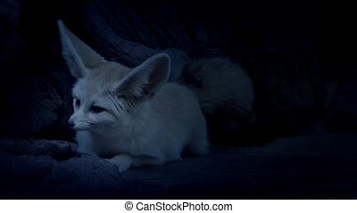Cave Fox Listening Out For Danger - Small nocturnal fox...
