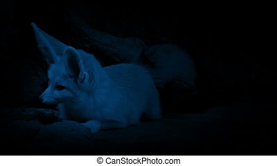 Cave Fox Listens For Danger In The Dark - Small nocturnal...