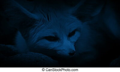 Cave Fox Male And Female At Night - Female fox resting in...