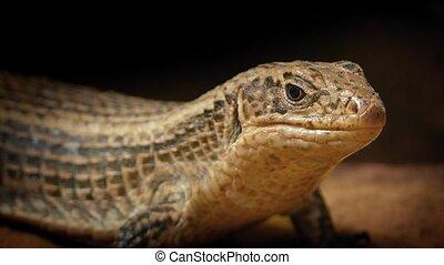 Cave Lizard Looking Around Closeup - Cave lizard resting in...
