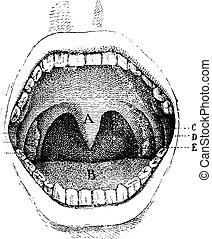 cavità, (inside, bocca, engraving., vendemmia