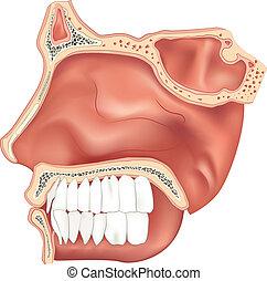 cavità, nasale