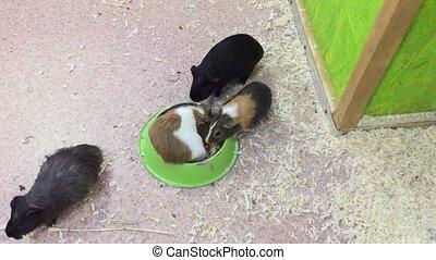 cavy guinea pig. guinea pig at home contact zoo