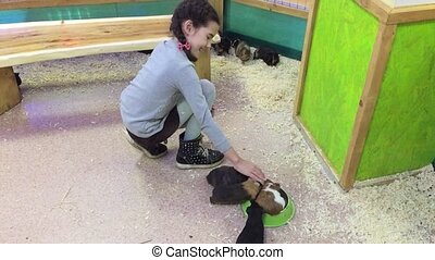 cavy guinea pig. Little girl feeding guinea pig at home...