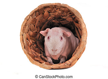 Cavy in a shelter