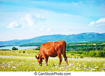 caws in field
