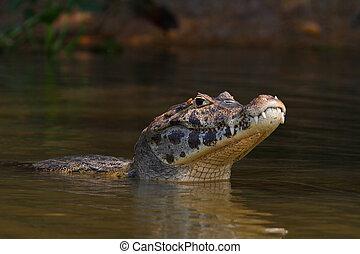 cayman, sunbathing in Pantanal, Brazil