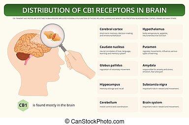 cb1, distribution, manuel, infographic, horizontal, récepteurs, cerveau