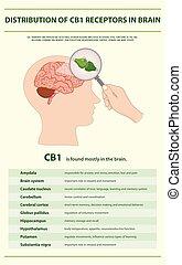 cb1, vertical, distribution, infographic, récepteurs, cerveau