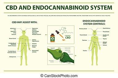 cbd, infographic, sistema, orizzontale, endocannabinoid
