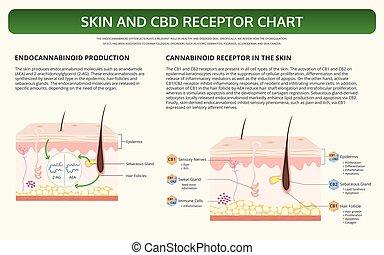 cbd, lehrbuch, infographic, horizontal, rezeptor, tabelle, haut