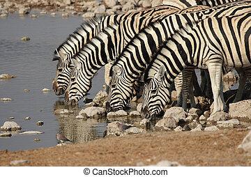 cebra de llanuras, (equus, quagga), en, el, waterhole, en,...