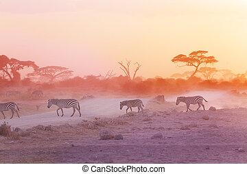 cebras, polvoriento, áfrica, manada, ocaso, sabana