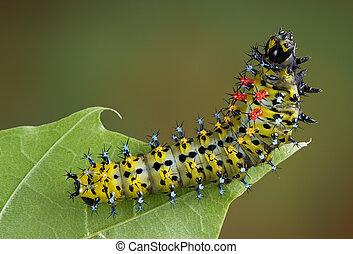 Cecropia caterpillar on leaf - A young cecropia caterpillar...