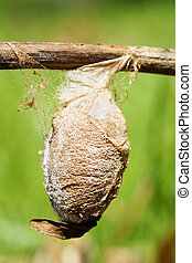 Cecropia moth cocoon - Very large cocoon, or chrysalis, of a...