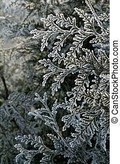 Cedar branch - Frost on a cedar branch