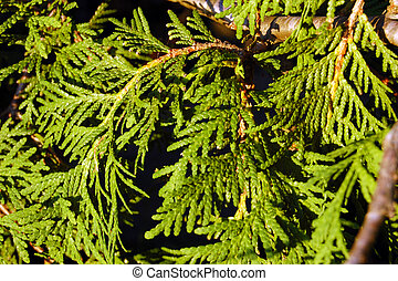 Branches of evergreen tree.