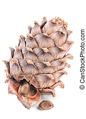 Cedar cone close-up isolated on white