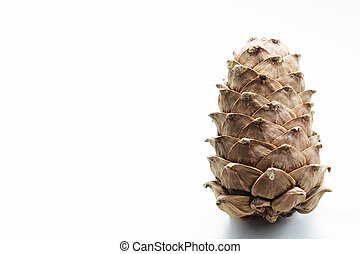 Cedar cone isolated on white. Close up. Copy space.