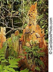 Cedar cones on a cedar stump in the forest