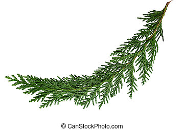 Cedar Cypress Leaf - Evergreen cedar cypress pine leaf...