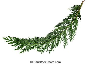 Cedar Cypress Leaf - Evergreen cedar cypress pine leaf...