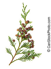 Cedar cypress leaf branch with pine cones over white background.