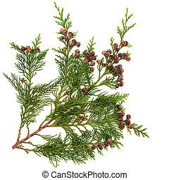 Cedar Leaves - Cedar cypress leyland leaf branch with pine...
