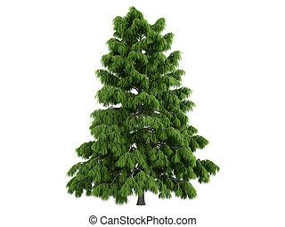 Cedar or latin Cedrus deodara isolated on white background