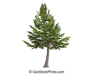 Cedar or latin Cedrus libani isolated on white background