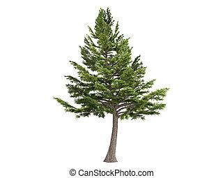 Cedar or Cedrus libani - Cedar or latin Cedrus libani...