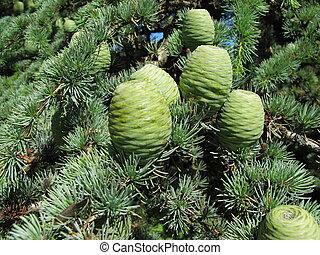 Cedar tree cones