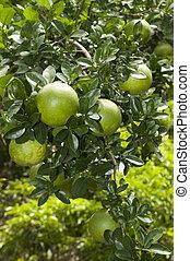 cedar tree fruits