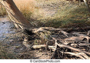 Cedar tree roots along marsh waters