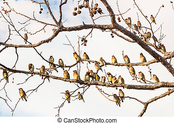 Cedar Waxwing Birds Resting