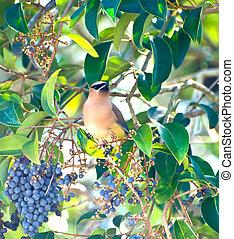 Cedar Waxwing - Bombycilla cedrorum - Bird